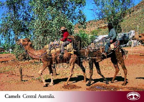 Camels Post Card front